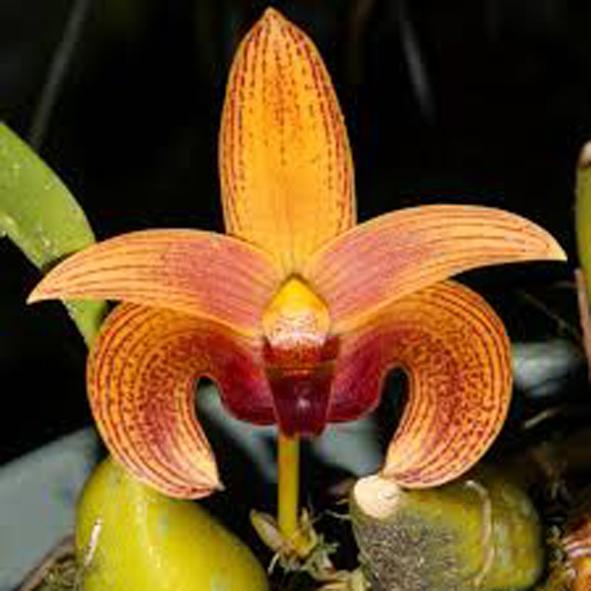 Bulbophyllum lobbii 2