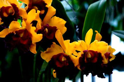 Lan Cattleya Brassolaelio.