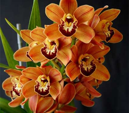 Cymbidium_William_Weaver_'Atlantis'