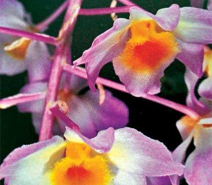 Lan Dendrobium-amabile