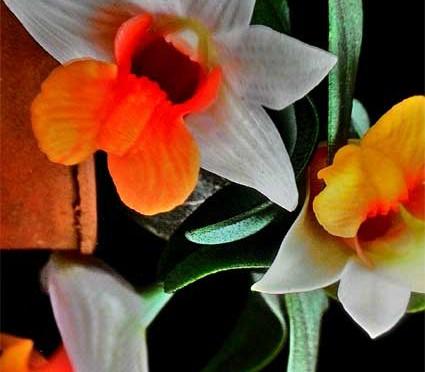 Lan Dendrobium-bellatulum