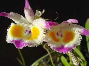 Lan Dendrobium-devonianum