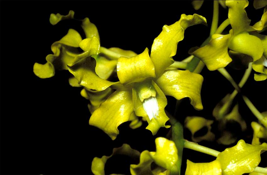 Lan Dendrobium-discolor-green