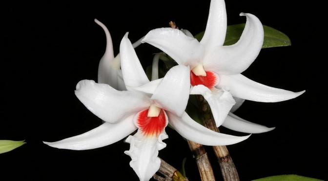 Lan nhất điểm hồng - Dendrobium draconis