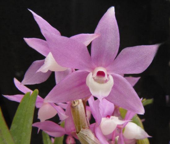 Lan Hoàng thảo tím Huế, Dendrobium-hercoglossum