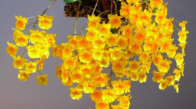 Lan Dendrobium-lindleyi