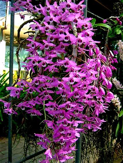 Lan Dendrobium-parishii