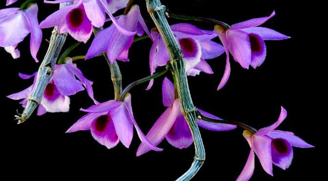 Lan Dendrobium-parishii, tím hồng