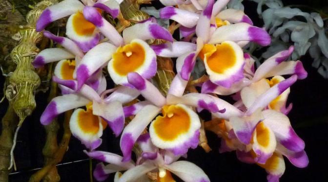 Lan Dendrobium-pendulum