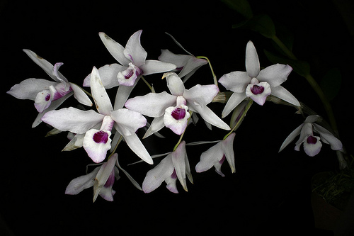 Lan Dendrobium transparens - Phi điệp trắng tím