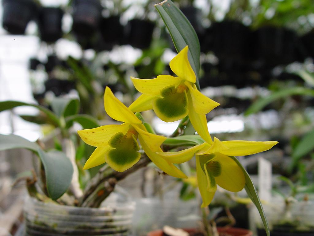 Lan Dendrobium trigonopus