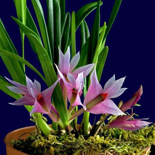 Lan Dendrobium-violaceum
