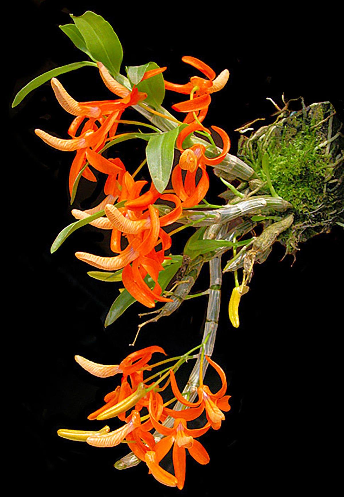 Lan Dendrobium_unicum_popup