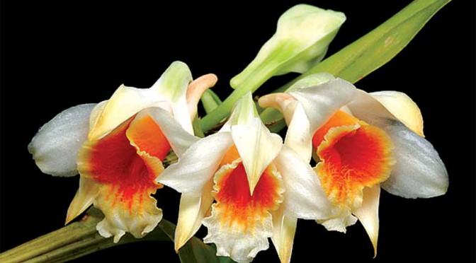 Lan Dendrobium-cariniferum