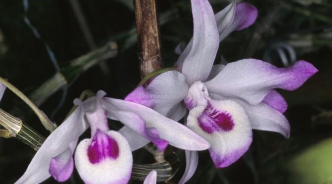 Lan Dendrobium transparens