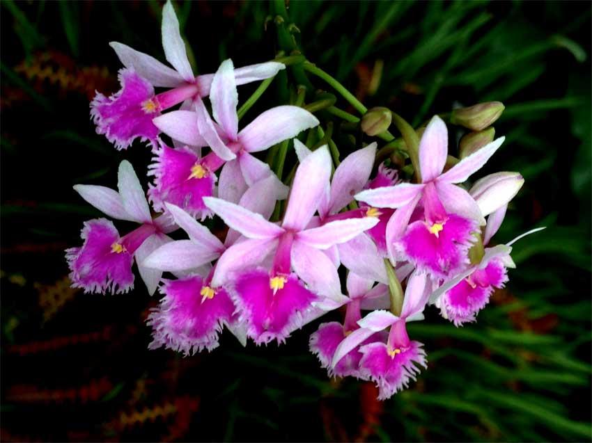Lan Epidendrum-calanthum