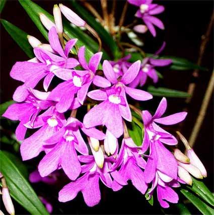 Lan Epidendrum-centradenia