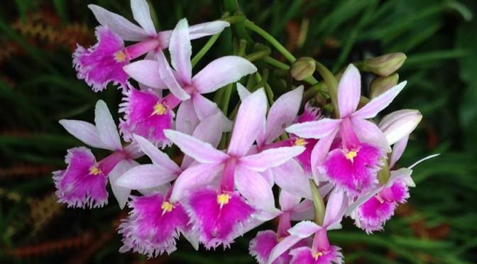 Lan Epidendrum