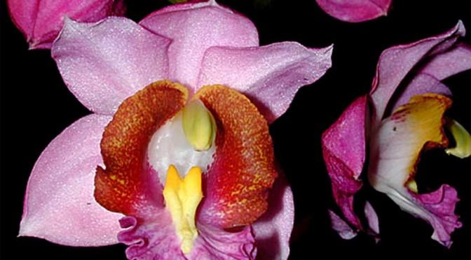 Gastrorchid-humblotii