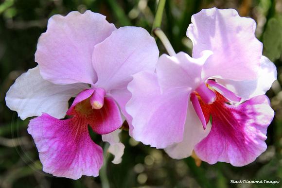 Loài Vanda hookerana x V.teres (Miss Joaquim)