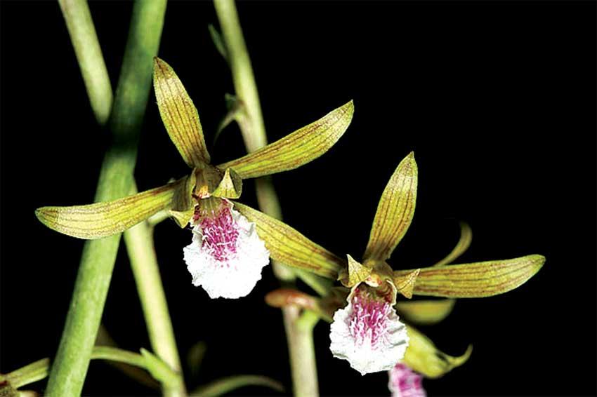 Lan Eulophia-graminea