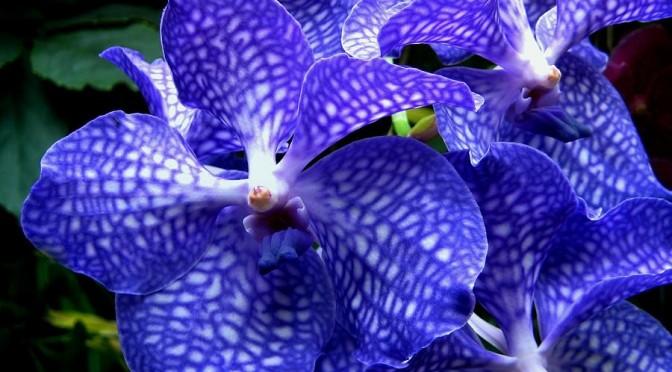 loài Vanda-orchids