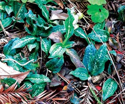 Lan Goodyera_oblongifolia