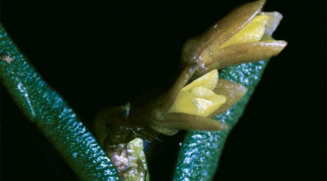 Jacquiniella-globosa