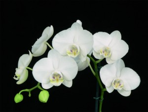 Nhu cầu ánh sáng cho lan hồ điệp Phalaenopsis amabilis