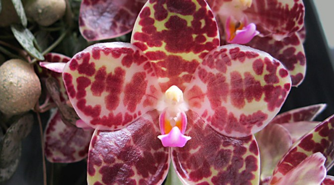 Nhu cầu ánh sáng cho lan hồ điệp Phalaenopsis gigantea