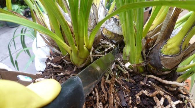 Cách làm cho lan phát triển tốt sau khi tách chiết