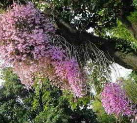 lan rừng Việt Nam