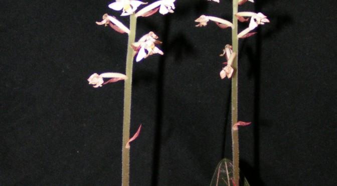 Hoa lan Ldisia discolor