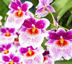 Mô tả và cách trồng Miltoniopsis Fuchsia