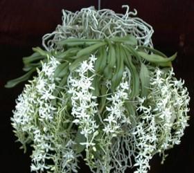 Cách trồng lan Mystacidium braybonae