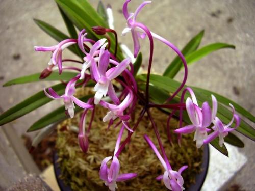 cách trồng lan Neofinetia falcata