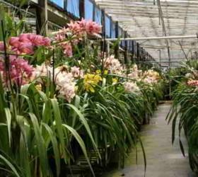 Cách trồng địa lan và chăm sóc địa lan