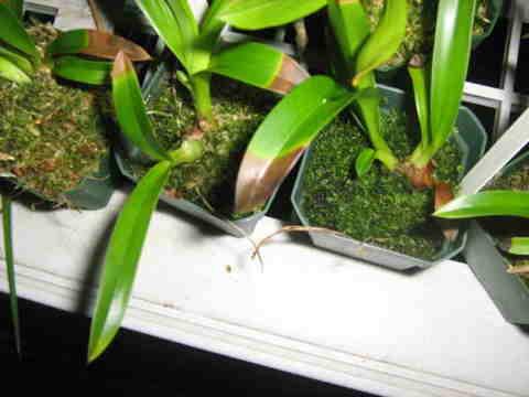 Kỹ thuật trồng địa lan - Bón phân cho hoa lan