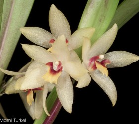 cách trồng lan Octomeria grandiflora