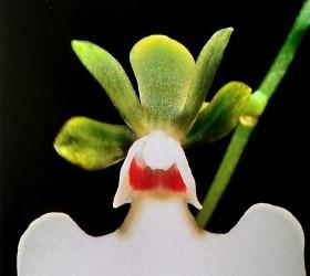 Cách trồng lan Oeonia rosea