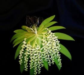 Cách trồng lan Ornithocephalus bicornis