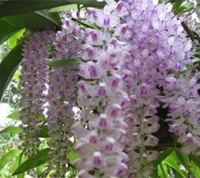 Cách làm lan rừng nở hoa