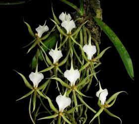 Cách trồng lan Plectrelminthus caudatus
