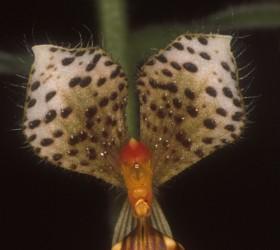 Cách trồng Ponnthieva maculata