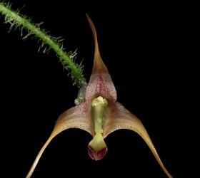 Cách trồng Porroglossum muscosum