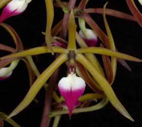 Cách trồng Prosthechea brassavolae