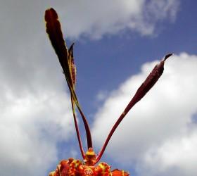 Cách trồng Psychopsis papilio