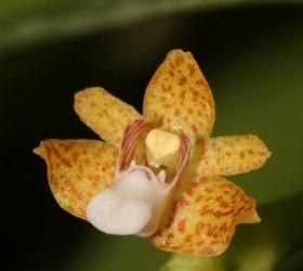 Pteroceras leopardinum