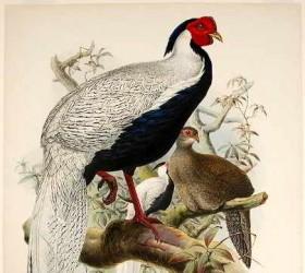 Gà lôi trắng, Silver Pheasant