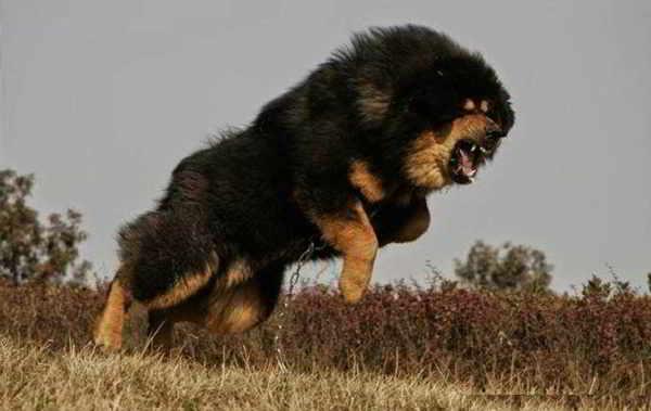Ngao Tây Tạng - Tibetan Mastiff